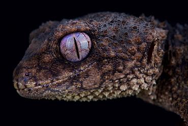 Spiny knob-tailed gecko (Nephrurus asper)