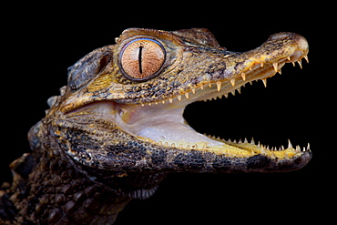 Schneider's dwarf caiman (Paleosuchus trigonatus)