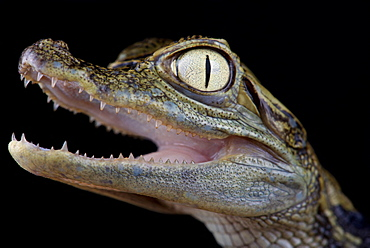Chiapasius spectacled caiman (Caiman crocodilus chiapasius)