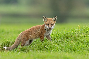 Red fox (Vulpes vulpes) walking in a meadow, England