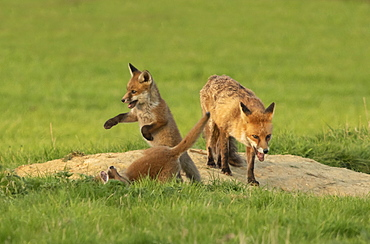 Red fox (Vulpes vulpes) vixen and playing cubs, England