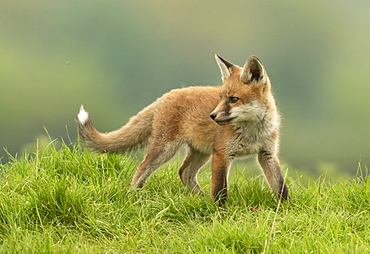 Red fox (Vulpes vulpes) standing in a meadow, England