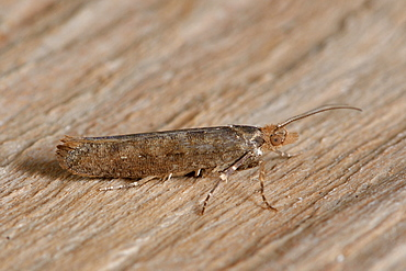 Variable Smudge (Ypsolopha ustella) Imago at the end of wintering, wooded areas of oaks, Côtes d'Armor, Brittany, France