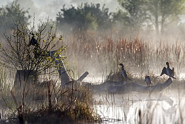 Great Cormorant (Phalacrocorax carbo) on a tree at dawn in the mist in the spring, Pond Zone Plan de La Garde, Var, France