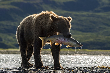 Grizzly bear (Ursus arctos horribilis) catching Salmon, Katmai National Park, Alaska, USA