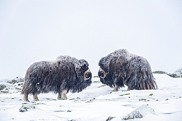 Musk Ox (Ovibos moschatus), two bulls in winter, Dovrefjell-Sunndalsfjella-Nationalpark, Norway