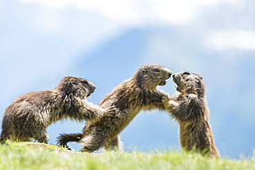 Alpine marmot ( Marmota marmota), three subadult play fighting, National Park Hohe Tauern, Austria