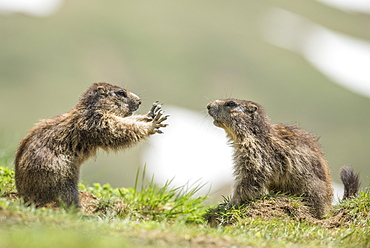 Alpine marmot ( Marmota marmota), two subadult playing, National Park Hohe Tauern, Austria