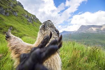 Alpine marmot ( Marmota marmota), with spreaded arms, National Park Hohe Tauern, Austria