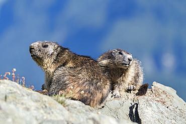 Alpine marmot ( Marmota marmota), National Park Hohe Tauern, Austria