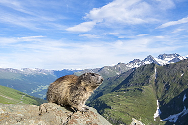 Alpine marmot ( Marmota marmota), in front of mountains, National Park Hohe Tauern, Austria
