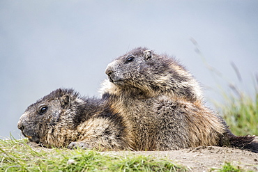 Alpine marmot ( Marmota marmota), two adults, National Park Hohe Tauern, Austria