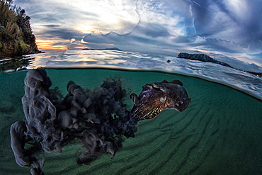Common Cuttlefish (Sepia officinalis) spitting ink under the surface at dusk, Miseno, Napoli, Italy, Tyrrhenian Sea