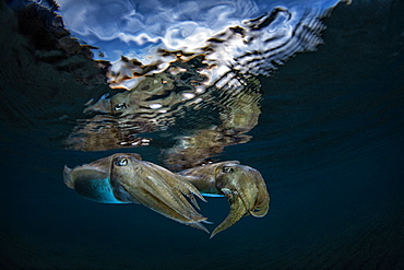 Common Cuttlefish (Sepia officinalis) under the surface at dusk, Miseno, Napoli, Italy, Tyrrhenian Sea
