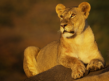 A Lioness (Panthera leao) in the early morning sun in Hwange National Park, Zimbabwe.