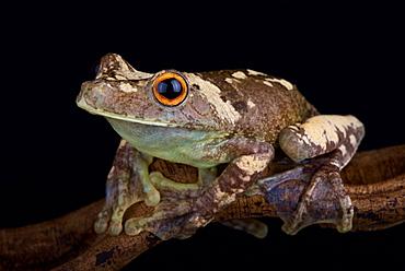 Giant Gladiator Treefrog (Hypsiboas boans)