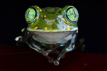 Amani forest treefrog (Leptopelis vermiculatus)