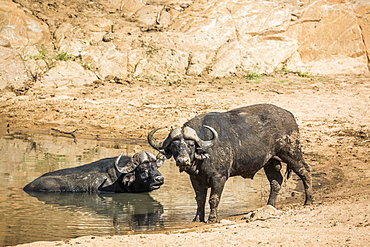 Two African buffalo bull in waterhole in Kruger National park, South Africa ; Specie Syncerus caffer family of Bovidae