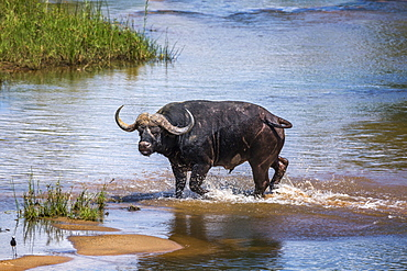 African buffalo (Syncerus caffer) running in river in Kruger National park, South Africa