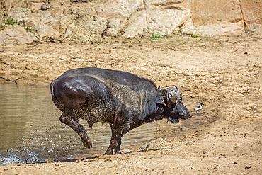African buffalo (Syncerus caffer) running out of waterhole in Kruger National park, South Africa