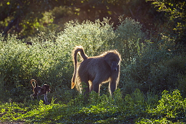 Chacma baboon (Papio ursinus) mother with a cute baby walking on lakeside in Kruger National park, South Africa