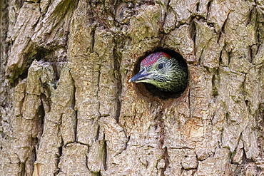 Green woodpecker (Picus viridis) young head coming out of the nest hole, England