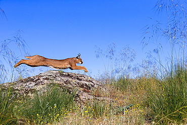 Caracal (Caracal caracal) , Occurs in Africa and Asia, Adult animal, Male, jumping on rock, Captive.