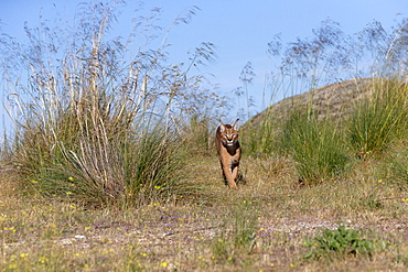 Caracal (Caracal caracal) , Occurs in Africa and Asia, Adult animal, Male, walking in the grass, Captive.