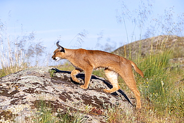 Caracal (Caracal caracal) , Occurs in Africa and Asia, Adult animal, Male, Walking on rock, Captive.