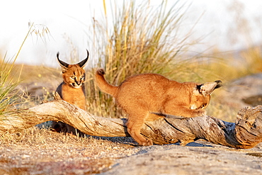 Caracal (Caracal caracal) , Occurs in Africa and Asia, Young animals 9 weeks old, on the rocks, Captive.