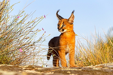 Caracal (Caracal caracal) , Occurs in Africa and Asia, Young animal 9 weeks old, Walking in the rocks, Captive.