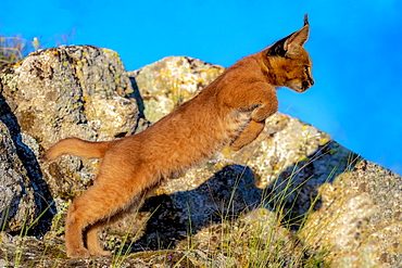 Caracal (Caracal caracal) , Occurs in Africa and Asia, Young animal 9 weeks old, jumping, Captive.