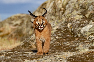 Caracal (Caracal caracal), Occurs in Africa and Asia, Young animal 9 weeks old, Walking in the rocks, Captive.