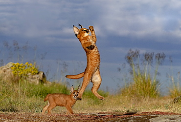 Caracal (Caracal caracal) , Occurs in Africa and Asia, Adult animal, Male, Jumping, Running, Captive.