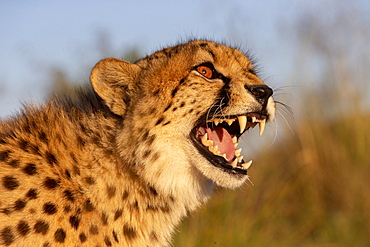 Cheetah (Acinonyx jubatus), occurs in Africa, portrait, captive