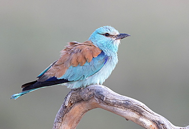 European roller (Coracias garrulus) perched on a branch, Spain