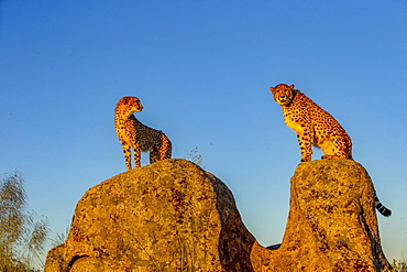 Cheetah (Acinonyx jubatus), occurs in Africa, two adults on rocks, captive