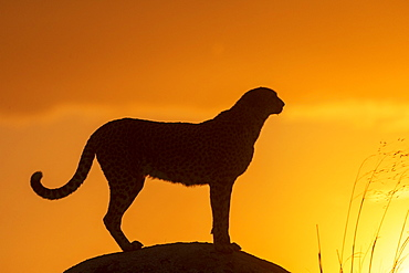 Cheetah (Acinonyx jubatus), occurs in Africa, adult at sunset, captive