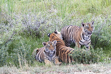 Asian (Bengal) Tiger (Panthera tigris tigris), mother with youngs 6 months old, resting, Private reserve, South Africa