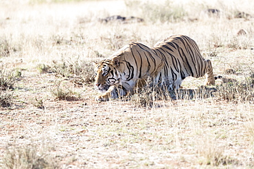 Asian (Bengal) Tiger (Panthera tigris tigris), adult stalking, looking for a prey, Private reserve, South Africa