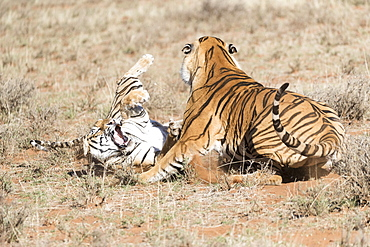 Asian (Bengal) Tiger (Panthera tigris tigris), adults, confrontation, Private reserve, South Africa