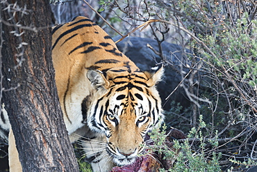 Asian (Bengal) Tiger (Panthera tigris tigris), eating, Private reserve, South Africa