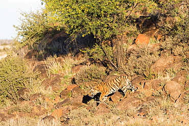Asian (Bengal) Tiger (Panthera tigris tigris), mother walking with babies, Private reserve, South Africa
