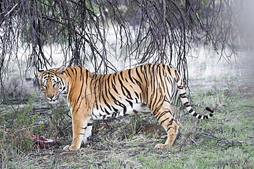 Asian (Bengal) Tiger (Panthera tigris tigris), with prey, Private reserve, South Africa