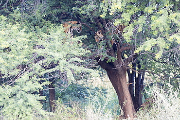 South Africa, Private reserve, Asian (Bengal) Tiger (Panthera tigris tigris), two youngs playing in a tree