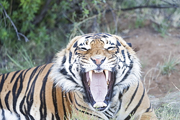 Asian (Bengal) Tiger (Panthera tigris tigris), resting, Private reserve, South Africa