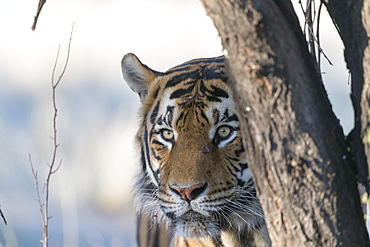 Asian (Bengal) Tiger (Panthera tigris tigris), portrait walking, Private reserve, South Africa
