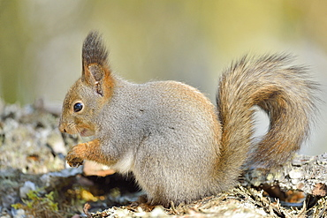 Eurasian Red Squirrel (Sciurus vulgaris) on a branch, Finland