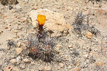 Gatito (Cumulopuntia sphaerica), Cactaceae indigenous to northern Chile, Spring bloom, Andean Pre-Cordillera, Socoroma, XV Arica and Parinacota Region, Chile