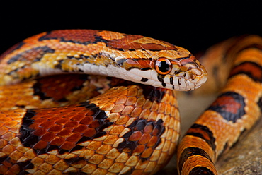 Red corn snake (Pantherophis guttatus)